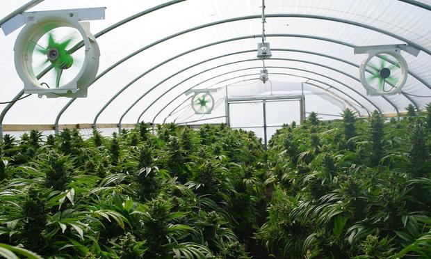 <i>Medical marijuana nursery. Photo: Shutterstock</i>