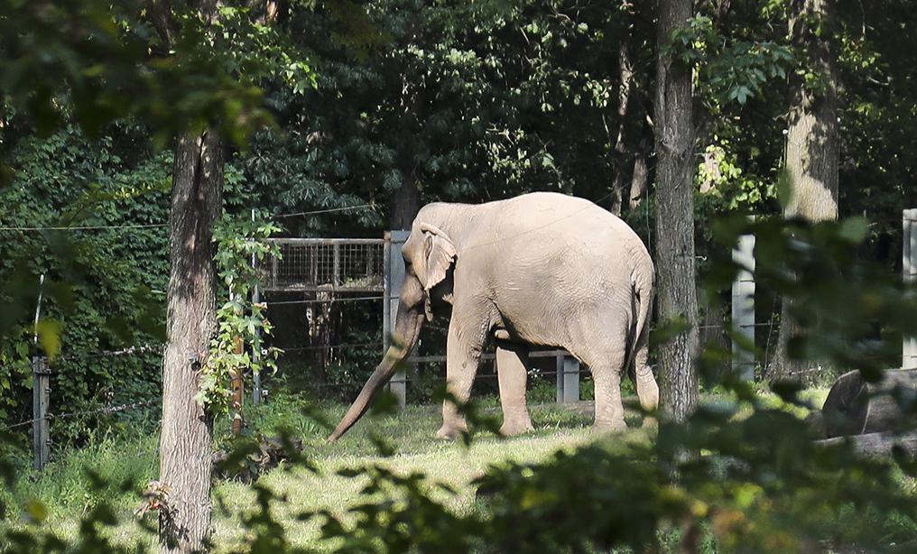 Western Ny Judge Sends Habeas Case For Bronx Zoo Elephant Back To
