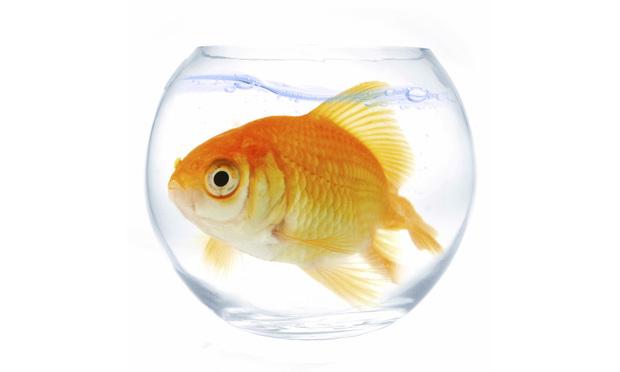 goldfish-too-big