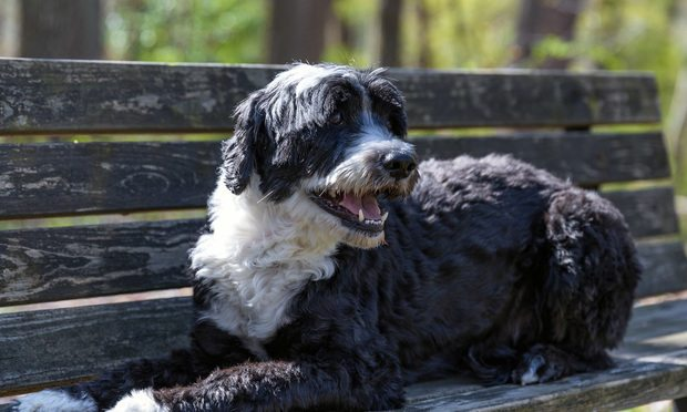 Portuguese water dog on a bench.