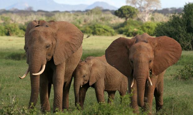 Three African elephants.