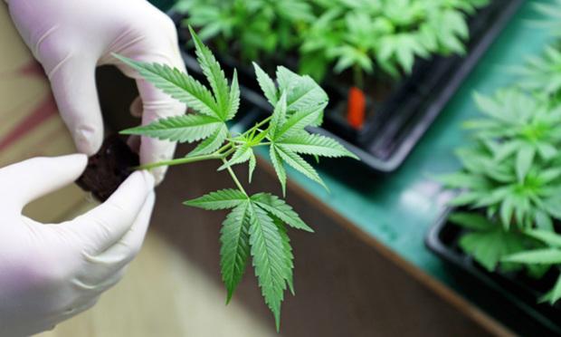 Medical marijuana/credit: photolona/Shutterstock.com