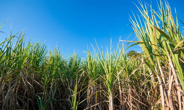 Sugar cane field. Photo: 99Art/Shutterstock.com.