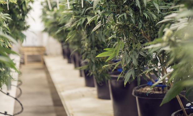 Rows of medical marijuana plants. Credit: FGunn/Shutterstock.com