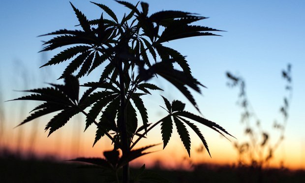 Outdoor cannabis cultivation. Credit: Yarygin/Shutterstock.com