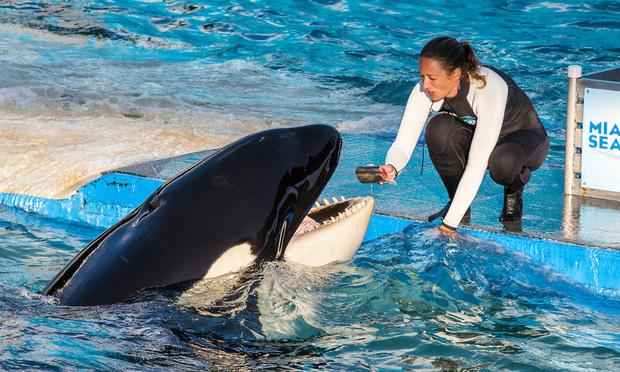 Lolita the killer whale at the Miami Seaquarium