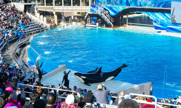 Killer whales in Sea World, San Diego.