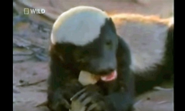 Turns Out Honey Badger Gives A Sht About Trademarks The Recorder