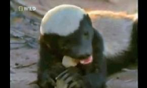 Turns Out Honey Badger Gives a Sh t About Trademarks