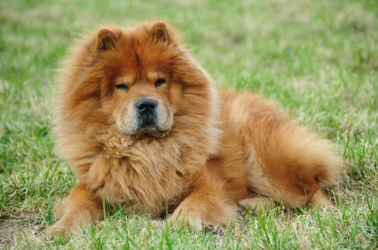 Chows Are Known To Be Fiercely Protective Of Their People And Property.