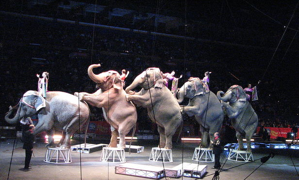 Elephants performing at the w:Ringling Bros. and Barnum & Bailey Circus at the Scottrade Center in St. Louis, Missouri.