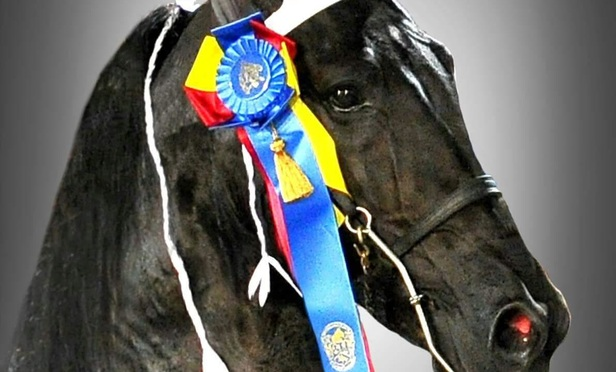 "Tennessee walking horse called ""Honors"""