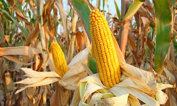 Iowa Court Reinstates Neighbors' Suit Against Corn Plant