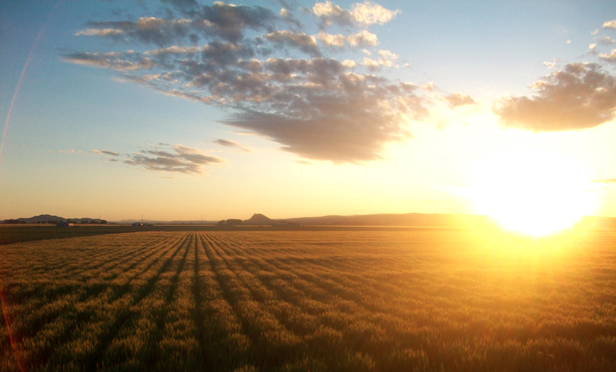 A wheat field in Ontario, Oregon